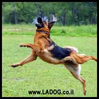 תיאור ומבנה של כלב רועים גרמני