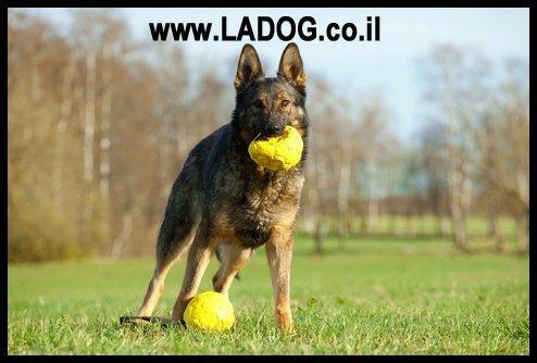 אילוף כלבי עבודה LADOG- בתמונה רועה גקמני קו דם עבודה