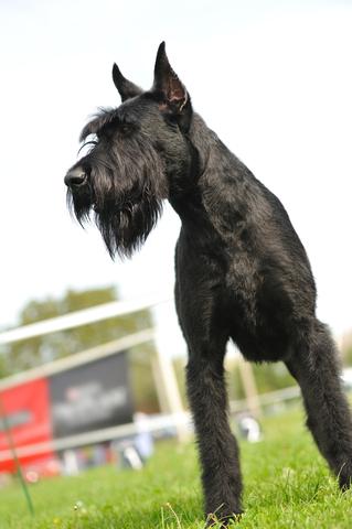 שנאוצר ענק- כלב מתאים למטרת אילוף הגנה