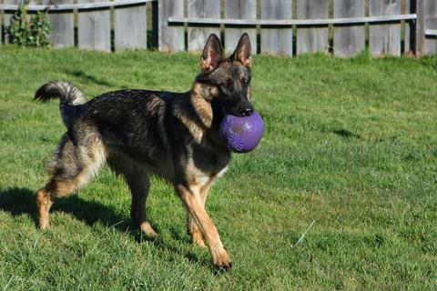 פיתוח יצר המשחק בכלבי רועה גרמני-LADOG