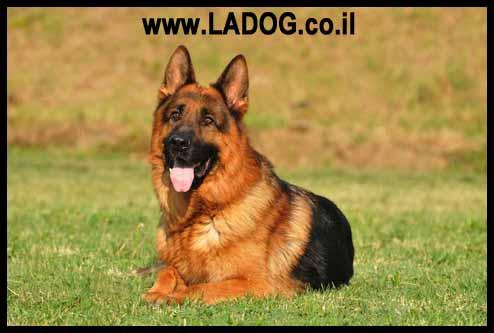 שינוי גוון הפרווה לכלב רועה גרמני - LADOG