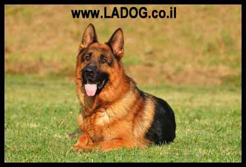 מגה וברק רועה גרמני למכירה - LADOG כלבי רועה גרמני מאולפים למכירה EV-64