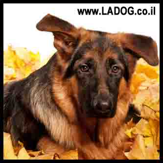 העמדת האוזניים של גור רועה גרמני