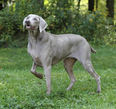 אילוף כלבי וימרנר- LADOG