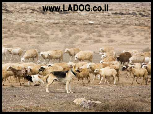 רועה גרמני שומר על מרעה