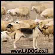 כלב רועה גרמני-הסטוריה
