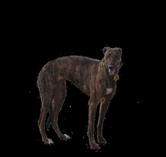 לגרייהאונד מבנה גוף המותאם ביותר לריצה, גוף שרירי גבוה וצר - LADOG אילוף כלבים