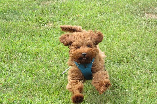 אילוף מקצועי לכלבי לברדודל - LADOG