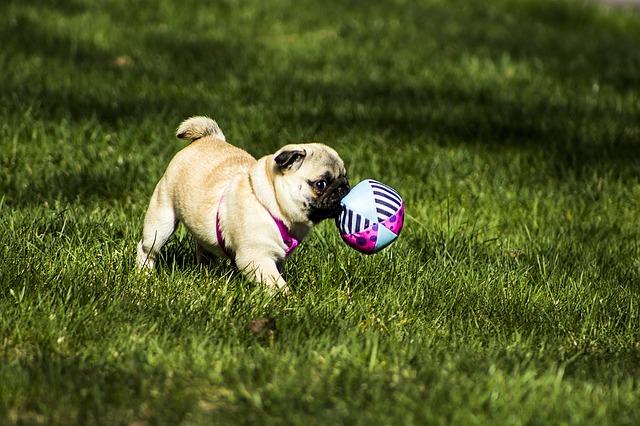 חשוב מאוד לקשר לכלבי הפאג את המשחקים שלהם לפקודות האילוף - LADOG