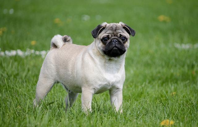 פאג סיני נחשב לכלב משפחה מעולה - LADOG אילוף כלבים