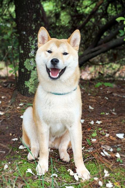 אקיטה יפני בצבע קלאסי של חום בהיר וקרם - LADOG אילוף כלבים מקצועי