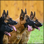 כלבים מאולפים למכירה