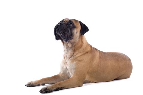 אילוף לכלבי בול מסטיף- LADOG