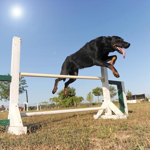 קורס אילוף לכלב בוסרון צרפתי-LADOG