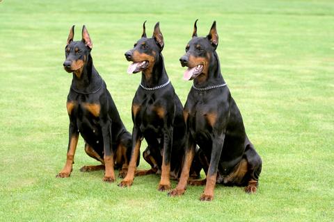 אילוף כלבי דוברמן- כלביית LADOG