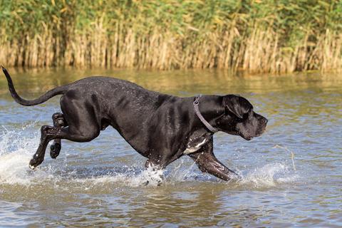 אילוף כלב דני ענק- LADOG ׁ[דני ענק שחור}