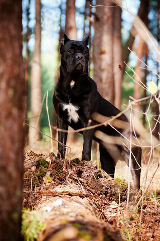 אילוף מקצועי לכלבי קאנה קורסו- LADOG