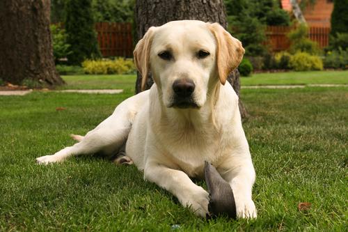 קורס אילוף למשמעת לכלבי לברדור- LADOG