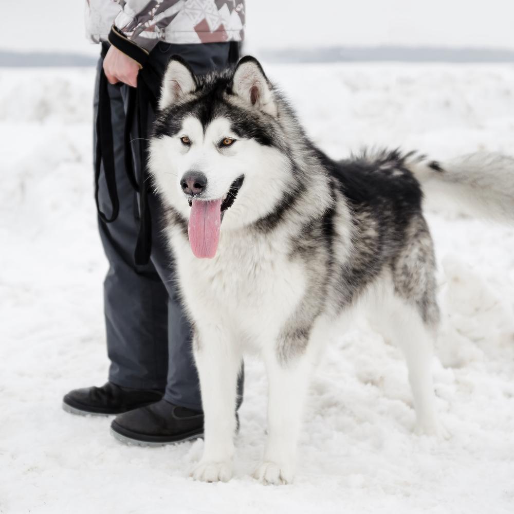 אלסקן מלמוט לא מתאים למזג האוויר החם בישראל - LADOG - אילוף כלבים