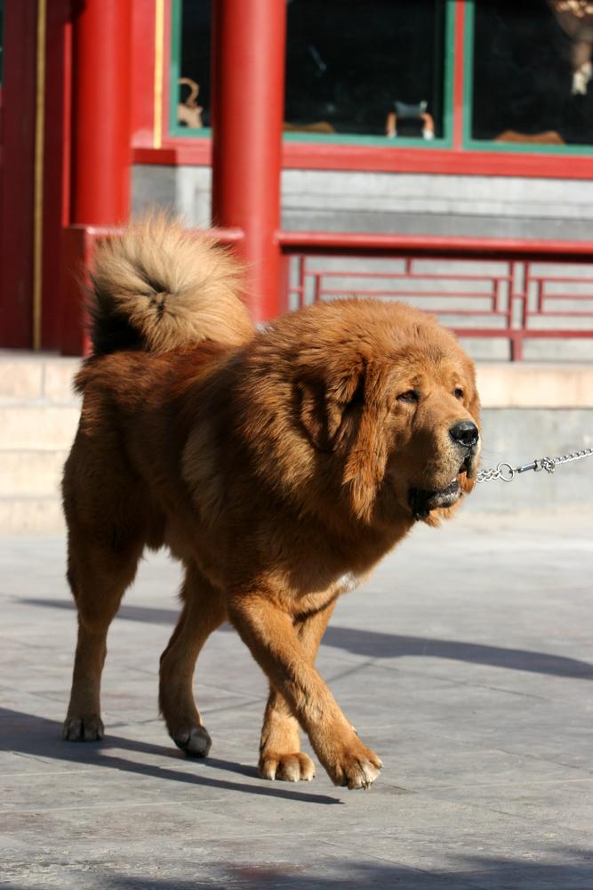 ללא אילוף מקצועי בגיל צעיר עלול המאסטיף טיבטי להפוך לכלב מסוכן מאוד - LADOG