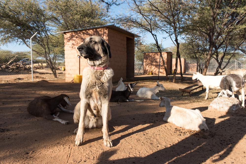Anatolian Shepard - - כלב קשוח עם אופי חזק - LADOG- אילוף כלבים