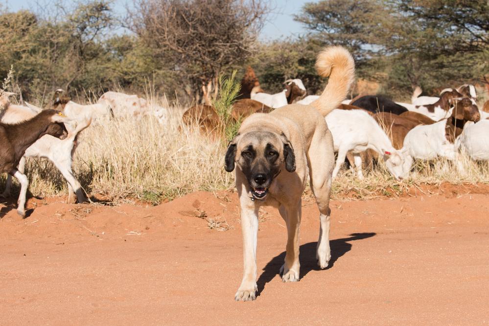 רועה טורקי שומר מעולה על צאן ובקר - LADOG - אילוף כלבים מקצועי