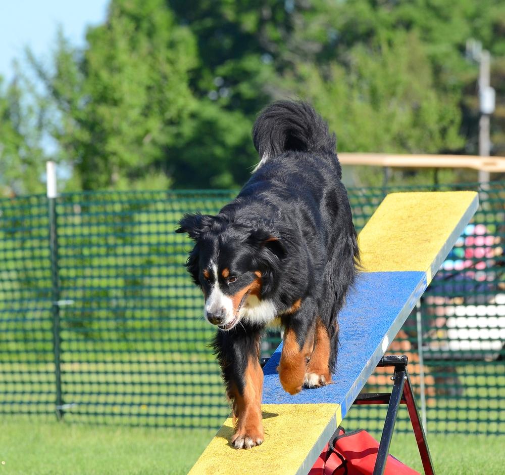 ברניז נחשב לכלב אתלטי ביחס לגודלו - LADOG - אילוף מקצועי