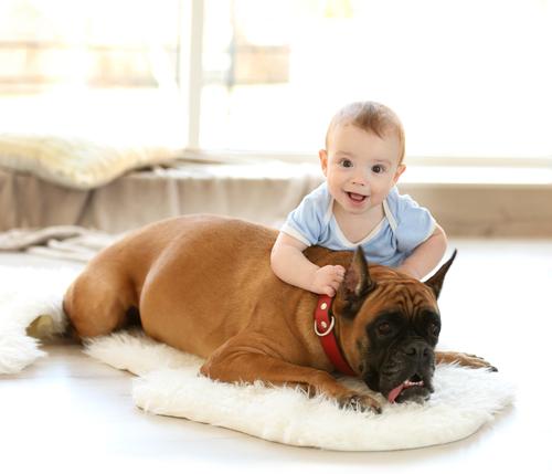 בוקסר נחשב לכלב משפחה אידיאלי-LADOG