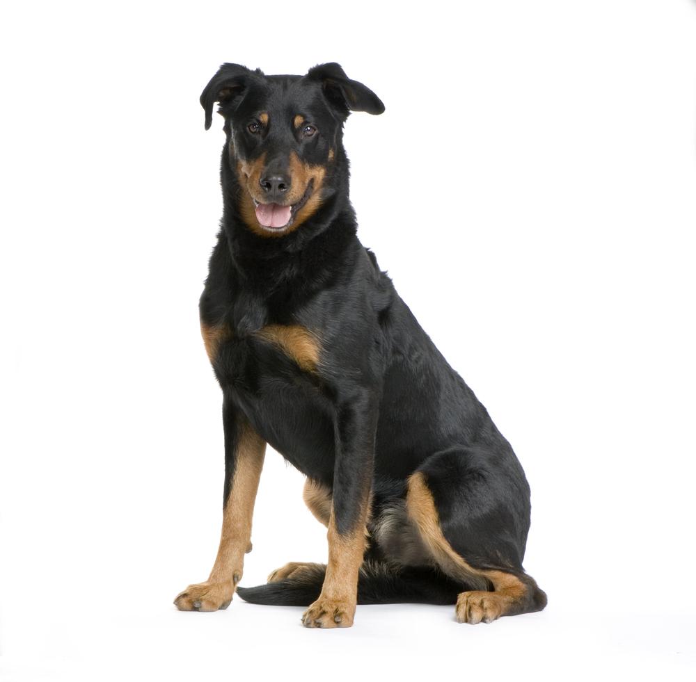 Beauceron - כלביית LADOG - אילוף כלבים מקצועי