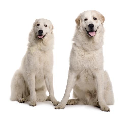 אילוף מקצועי למשמעת לכלב הרים פרינאי -LADOG
