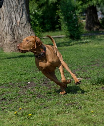 אילוף כלב הויסלה- כלביית LADOG