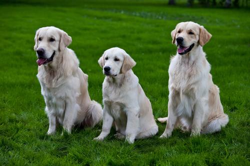 אילוף מקצועי למשמעת מתקדמת לגולדן-כלביית LADOG