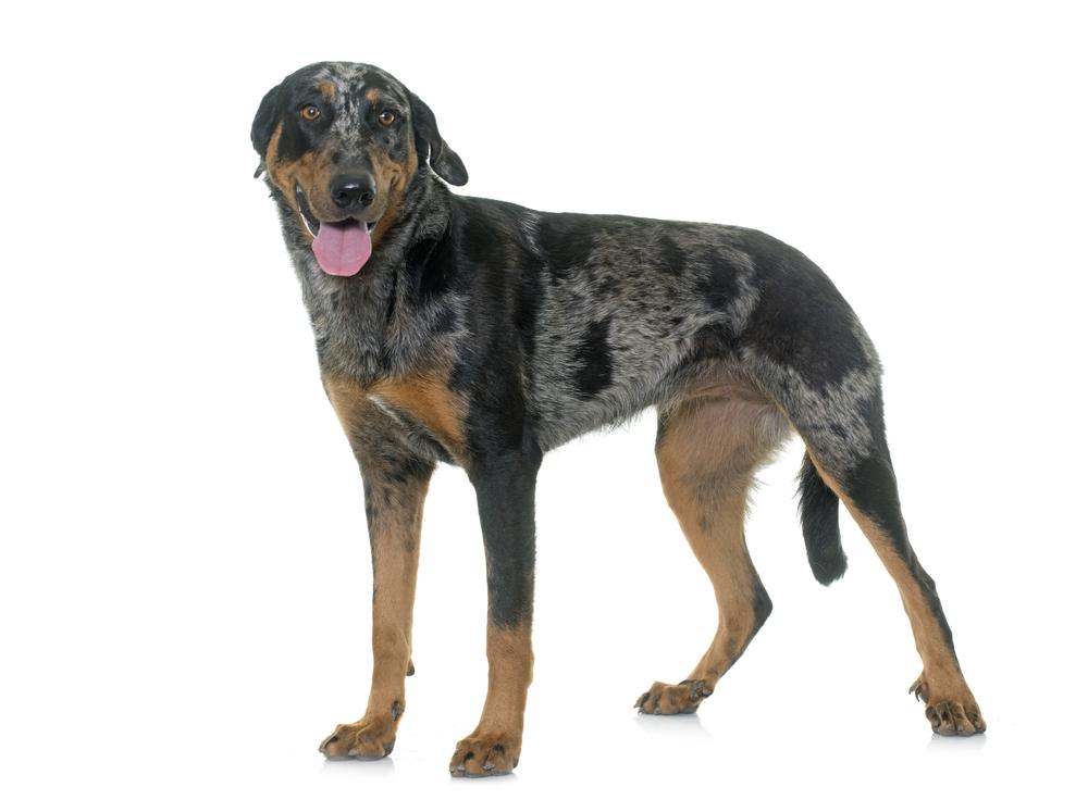 בוסרון הרלקין - טריקולור - LADOG - מרכז מקצועי לאימון כלבים