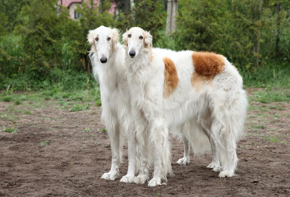 קורס אילוף לכלבי בורזוי - LADOG - מרכז מקצועי לאימון כלבים