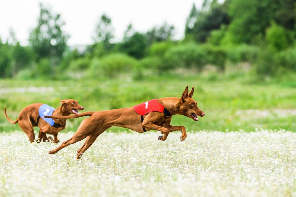 כלבי האוונד פרעה שימשו גם לתחרויות ריצה - LADOG - אילוף כלבים מקצועי