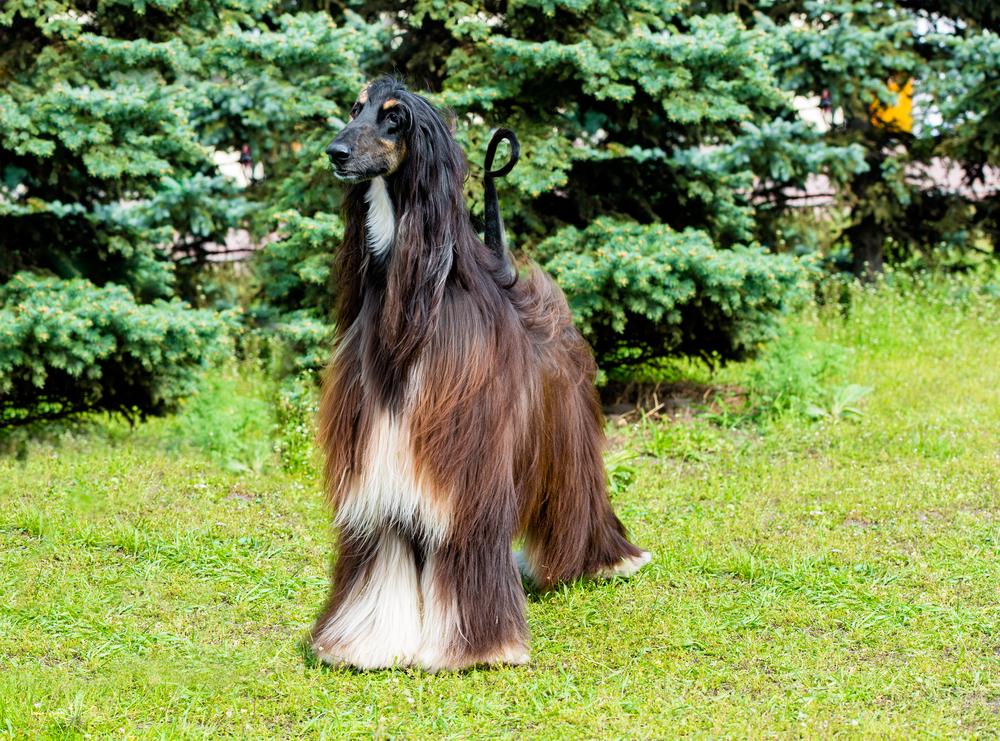 אפגני בצבעים טריקולור- לבן, שחור וחום - LADOG - אילוף כלבים