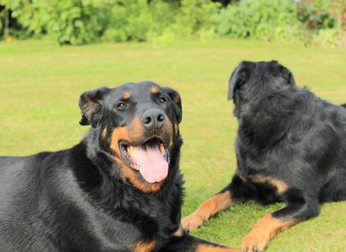 french sheepdog beauceron-.אילוף למשמעת לכלבי רועה צרפתי.(בוסרון)- LADOG