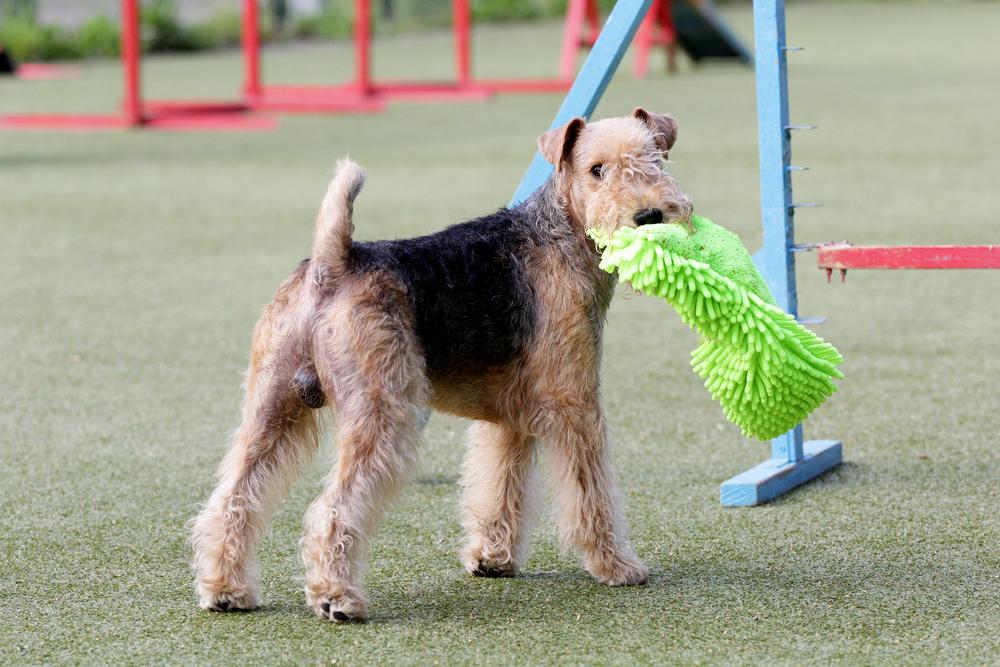 לכלבי אירדייל יצר משחק מעולה -LADOG- אימון כלבים מקצועי