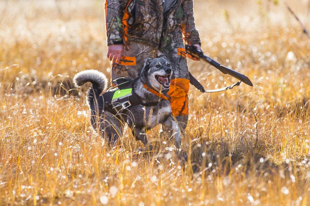 אלקהאונד נחשב לכלב ציד אמיץ - LADOG - מרכז מקצועי לאילוף