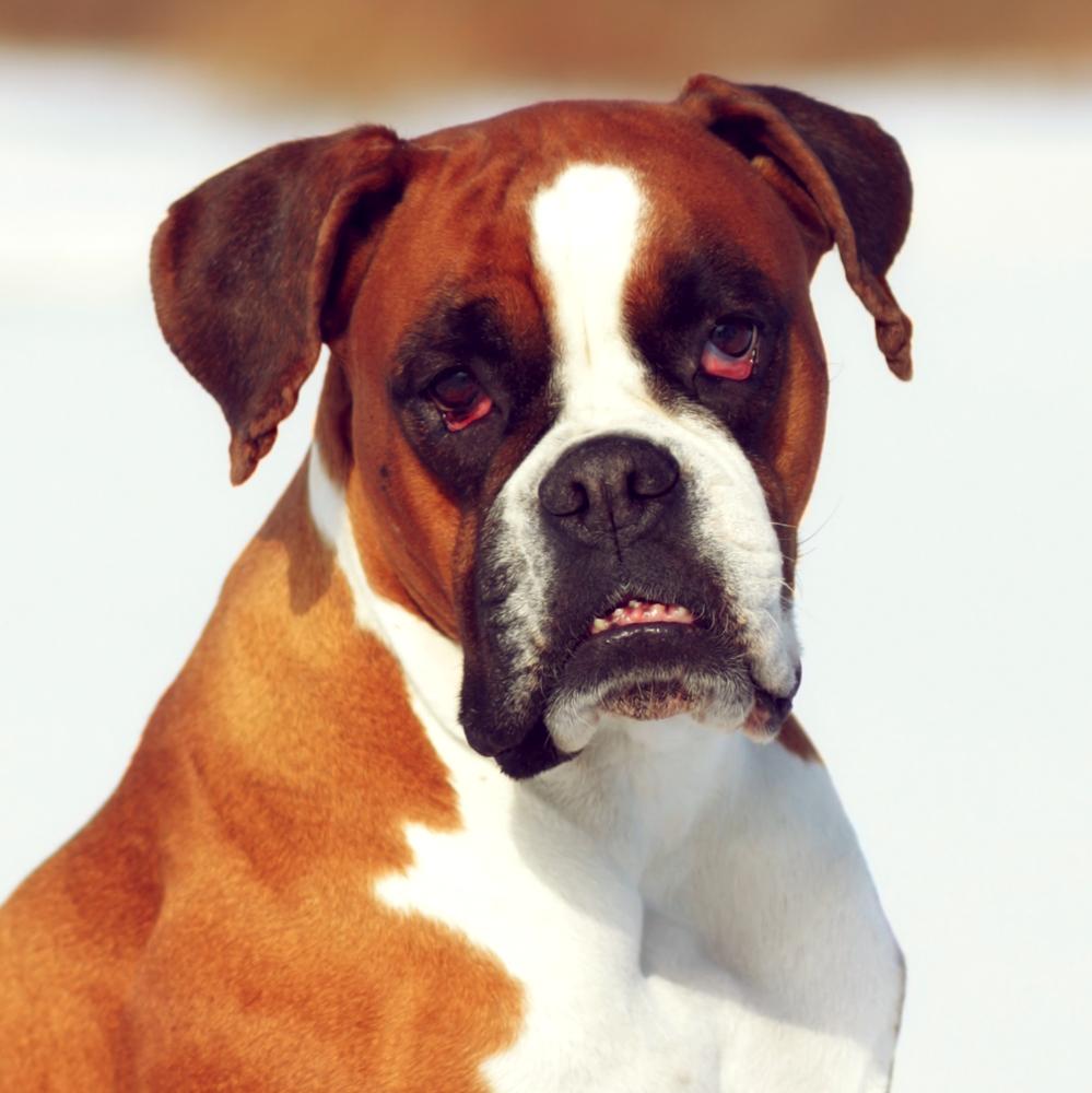 אימון כלבי בוקסר -LADOG