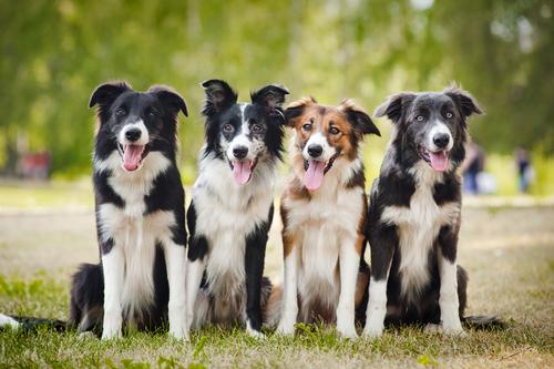 אילוף מקצועי למשמעת מתקדמת לכלבי בורדר קולי-LADOG