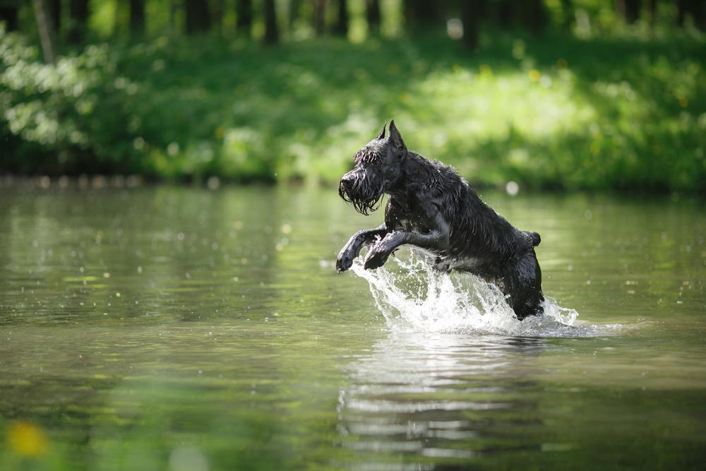 בישנאוצר אוהבים מאוד מים - LADOG - מרכז מקצועי לאילוף כלבים