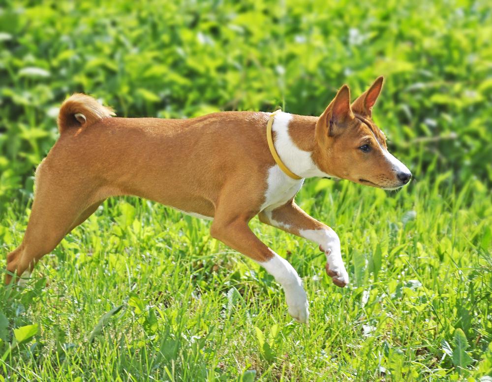אילוף מקצועי לכלבי בסנג'י - LADOG