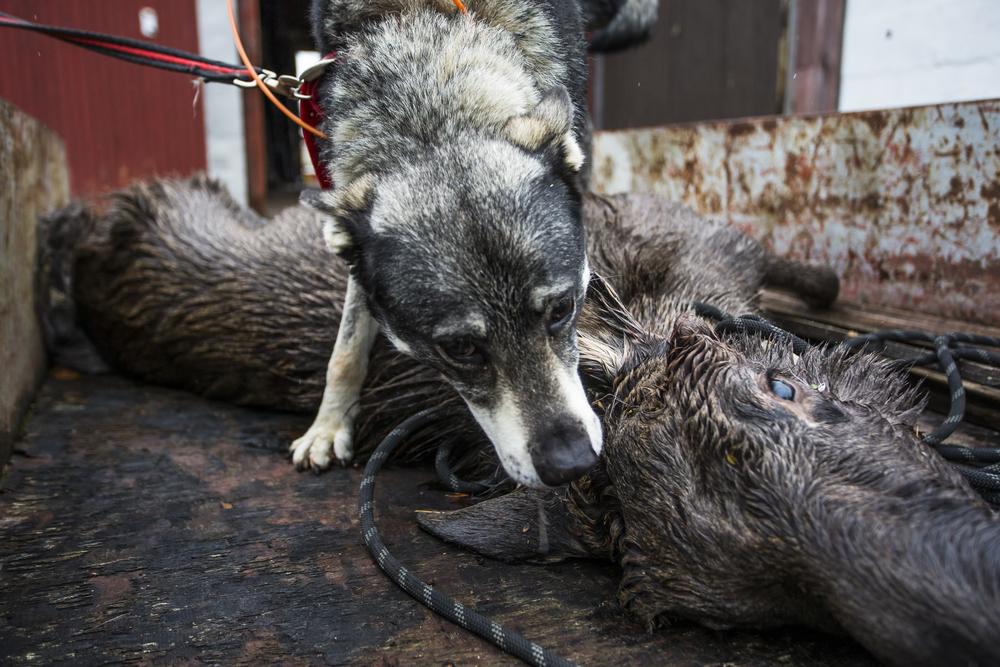 אלקהאונד לאחר ציד של מוס נורבגי - LADOG - אילוף כלבים מקצועי