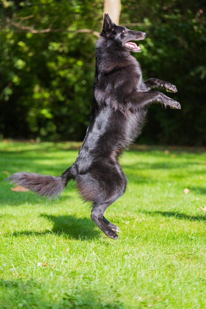גרוננדל מסוגל לעמוד על שני רגליים בשונה מרוב הכלבים האחרים בגודל זהה -LADOG