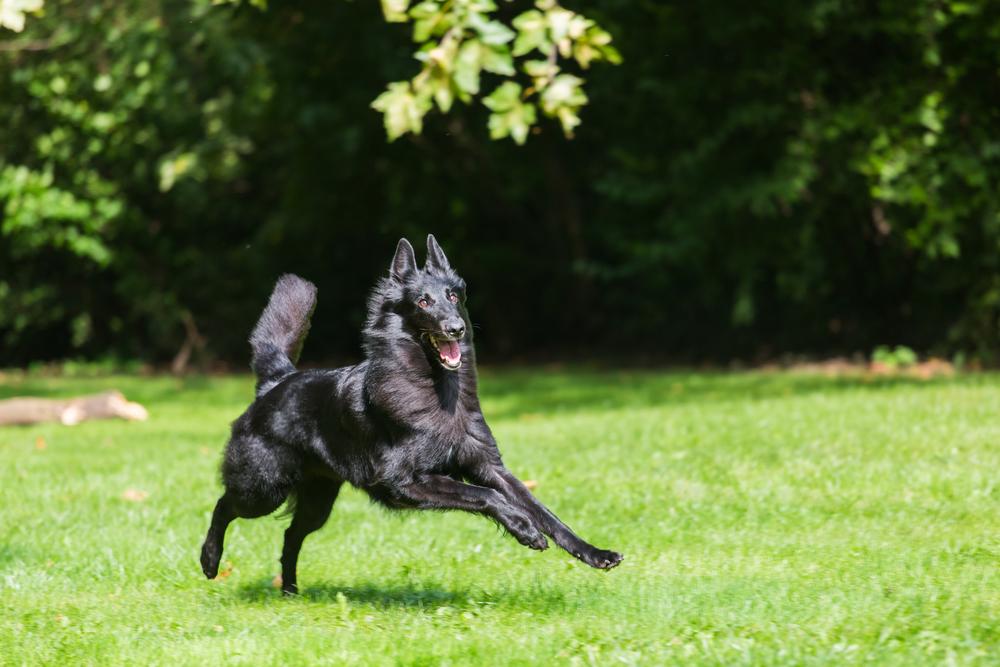 כלב רועה בלגי, גרוננדל - LADOG