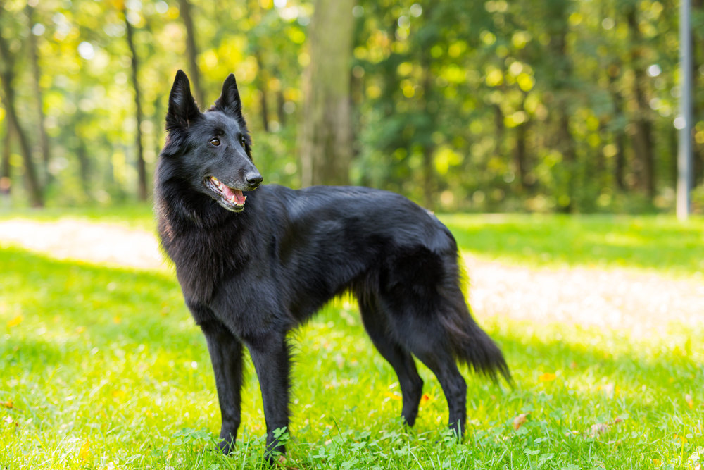 במרכז הכלבני - LADOG - נסיון רב באילוף כלבי גרוננדל