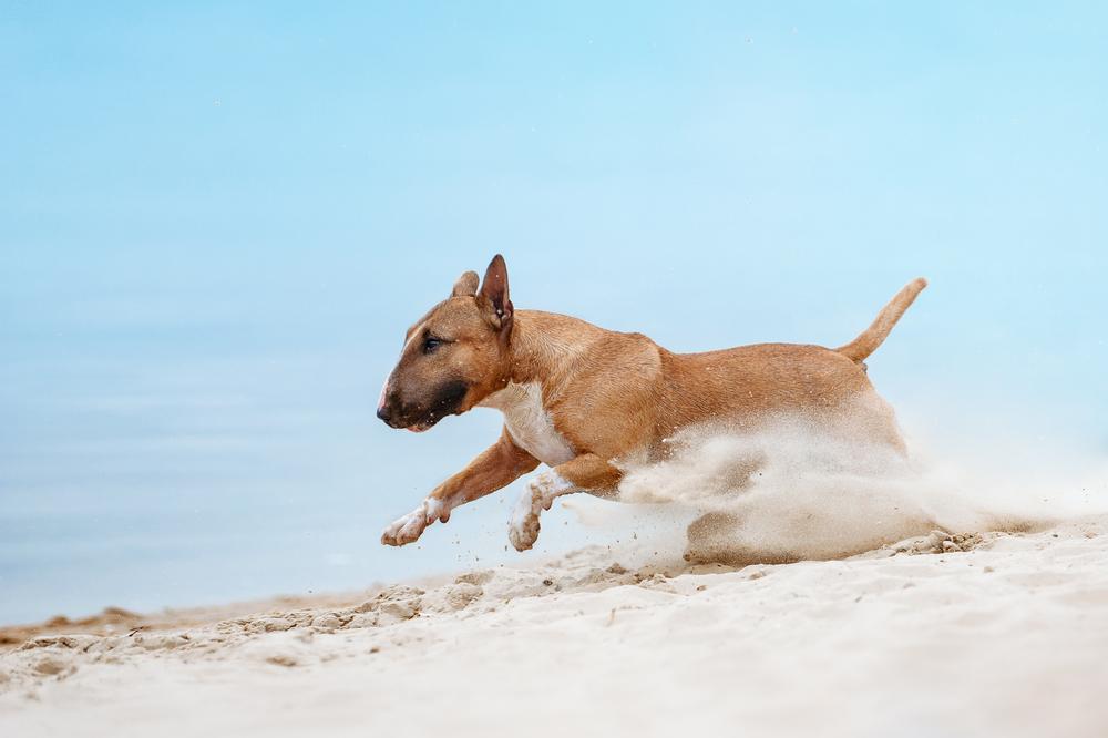 בול טרייר מאוד אוהבים לרוץ בים - LADOG - אילוף כלבים