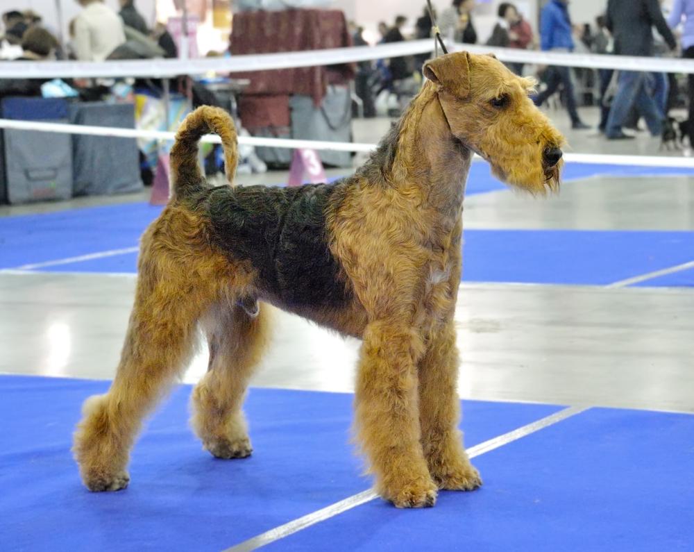איירדייל טרייר בתערוכה - LADOG - אילוף כלבים מקצועי