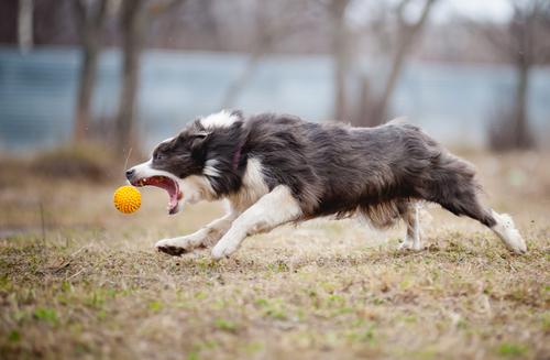 בחברת LADOG ישנה חשיבות רבה לקישור המשמעת למשחקי האילוף לכלבי בורדר קולי.